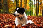 Archie Border Collie Autumn by LW-M-E-D-I-A