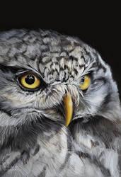 Northern hawk owl study by Thalathis