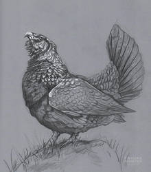 Capercaillie study by Thalathis
