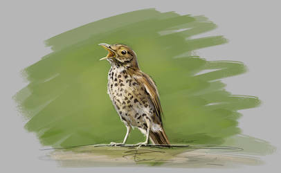 Song thrush study by Thalathis