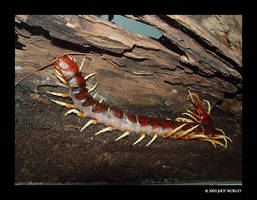 Giant Centipede by Tazzy-