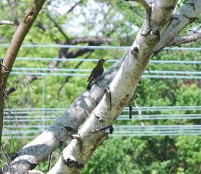 red-bellied woodpecker by shukumei19