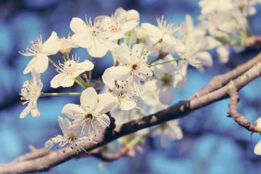 Blooming Dogwoods! (8115) by EmileeSelf