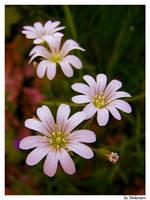 Flowers by Makargina