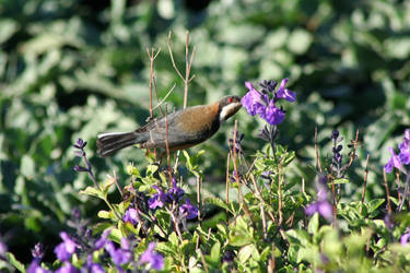 Eastern Spinebill by Attackoneverything