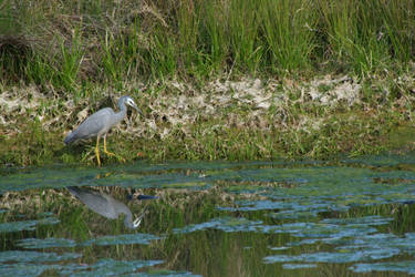 White-faced heron by Attackoneverything