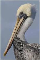 Brown Pelican by Bumblewales