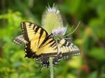 Papilio machaon III by OL27