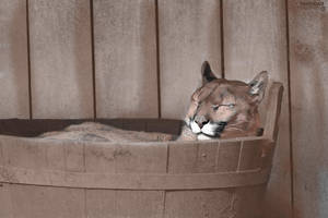 Cougar in a Bucket DP by DemonaTheOperator