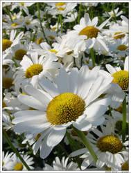Sea of Flowers C-S by calgary-steven