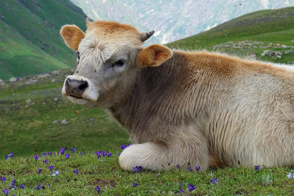 Calf by xSweetMelody