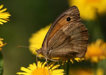 Maniola jurtina - Meadow Brown (female) by karpuzova