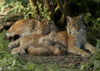 Dsc2450 lynx family by Malmborg