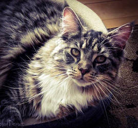 Maine coon by Soleildenuit50