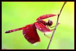 dragonfly. by Le-Voyageur