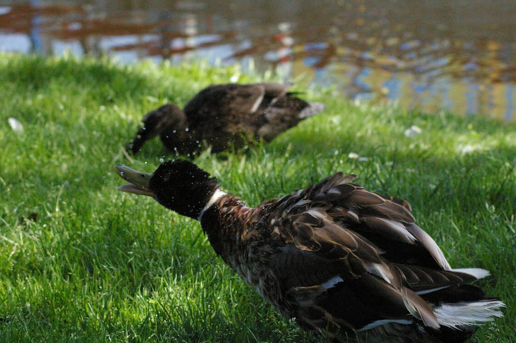 Quacky quack by MisterMonkey95