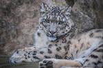 Snowleopard, KA XII by Areksim