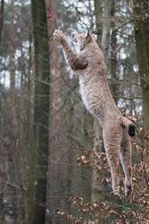 Lynx, Pforzheim VIX by Areksim