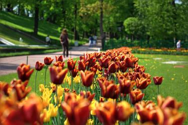 Petergof Tulips by AmniosDesign