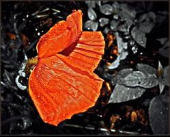 Royal Poppy On The Rain by surrealistic-gloom
