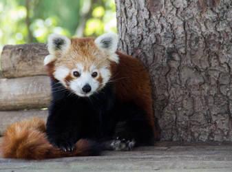 Panda roux by Ninie