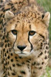 Brevard Cheeta Close Up by Kippenwolf