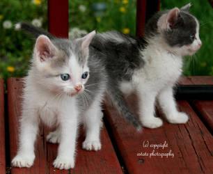 kittens by ThruEmilysEyesPhotos