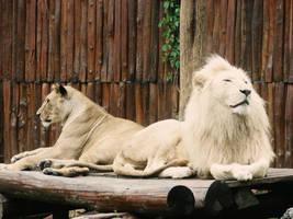 Lions by Mamoru-sama