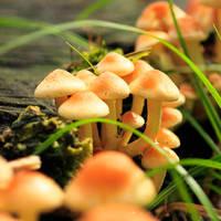 honey fungi by indojo