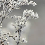iced branches by indojo