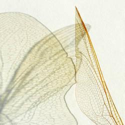 wings II by indojo