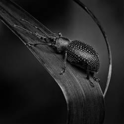black beetle by indojo