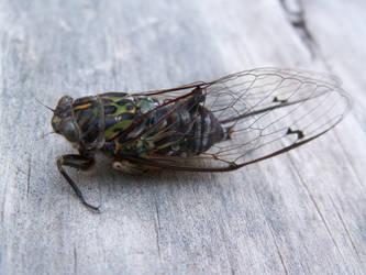Cicada by Denita