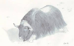 Male Musk Ox by samrhodes