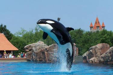 Nootka's Leap, Transient-Orca by Splash-Zone