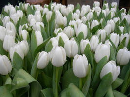 tulips by pikpic