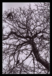 Crows by ash