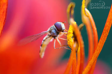 Hoverfly by Linkineos