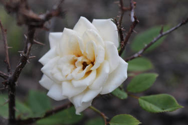 White rose by starflyer3000