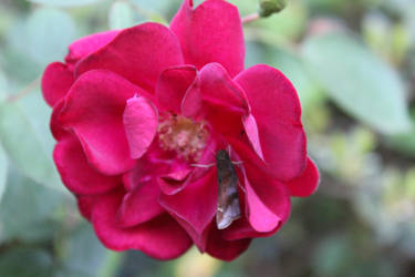 A moth and a rose by starflyer3000