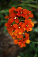 Sanddune Wallflower 2 by KSMPhotography
