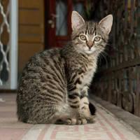 Tabby kitty by szorny-stock