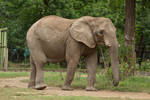 African elephant I by szorny-stock