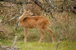 Roe deer by szorny-stock