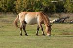 Przewalski's horse by szorny-stock