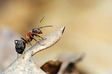 60.Ant by Bulinko