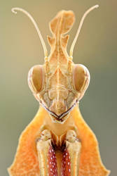 Gongylus gongylodes by Bulinko