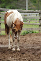 Pinto Horse 7 by ErikaChristine