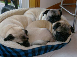 3 pugs in a bed by smeggy22