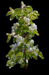 Flowering branch by Vladlena111